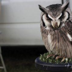 Sleeping-owl